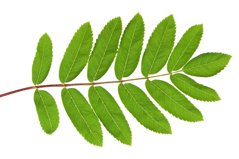 Blätter der Vogelbeere