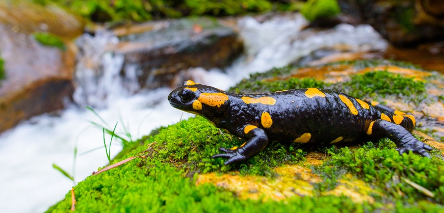 Amphibien cover