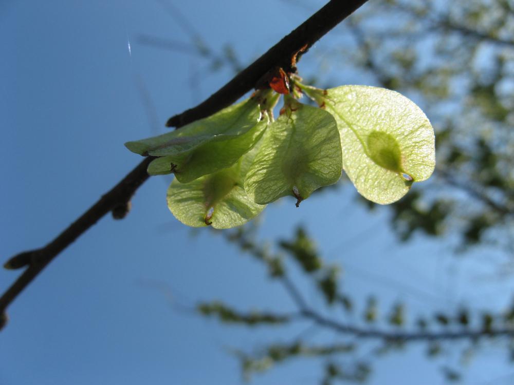 Früchte der Ulme