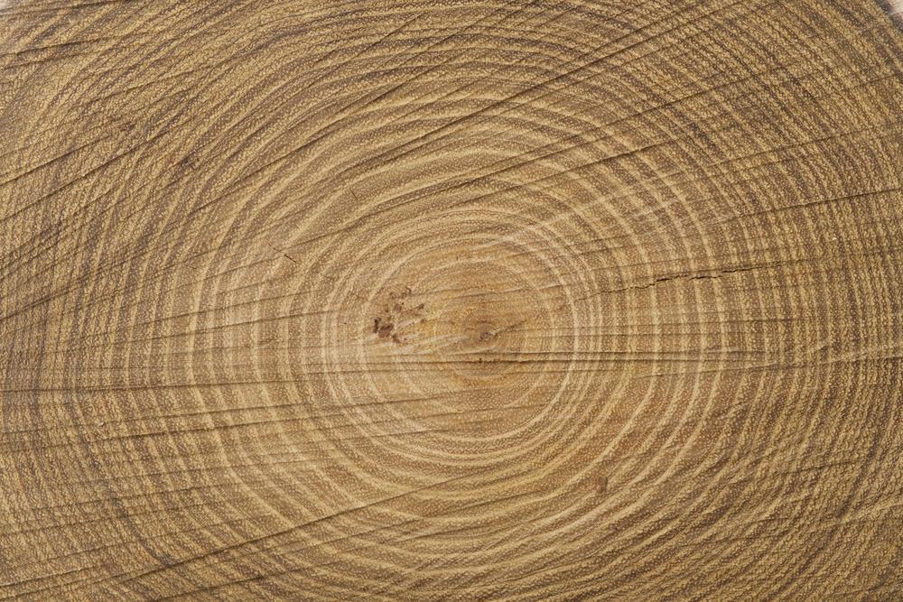Querschnitt Baumstamm