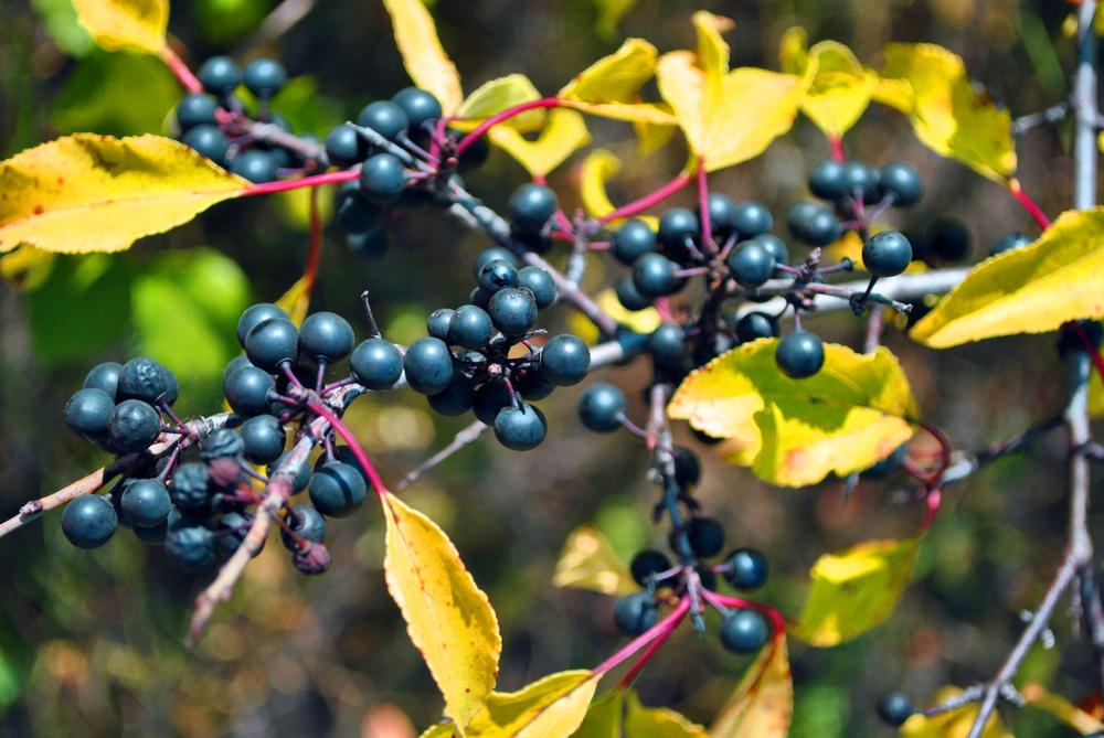 Beeren der Gemeinen Traubenkirsche