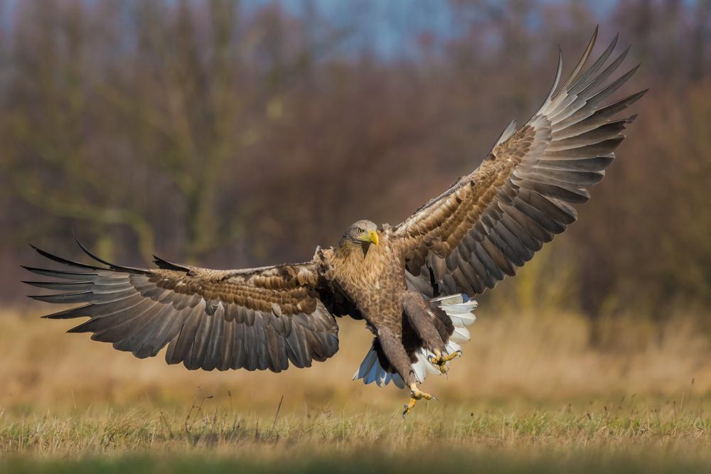 Seeadler Spannweite