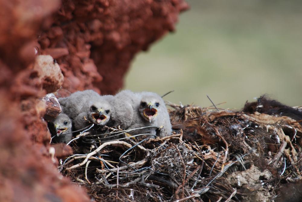 Mäusebussard Nest