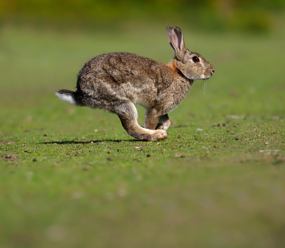 Kaninchen laufend