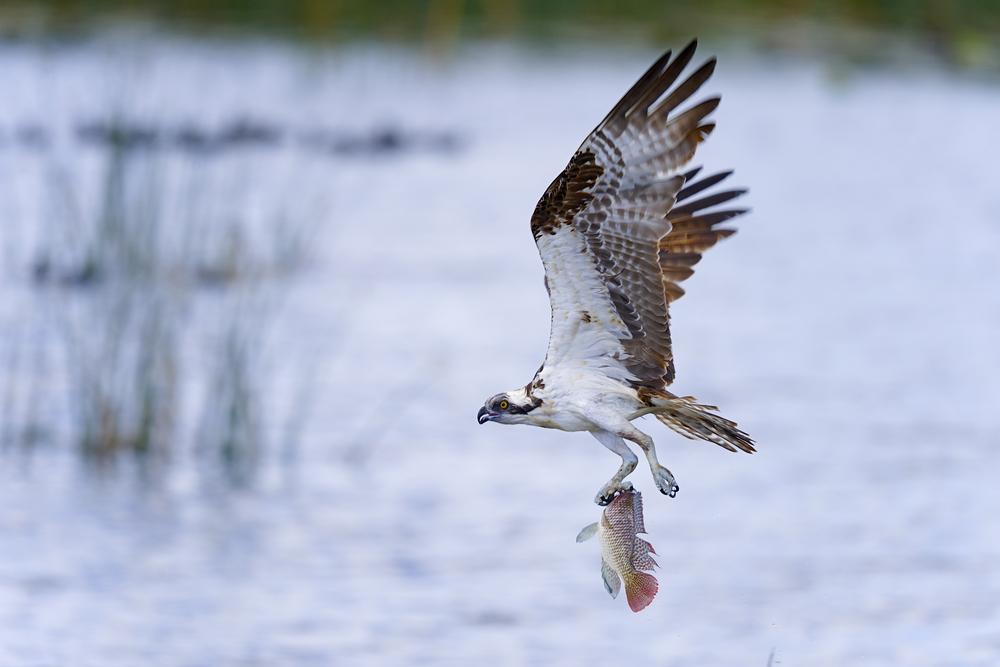 Fischadler Beute
