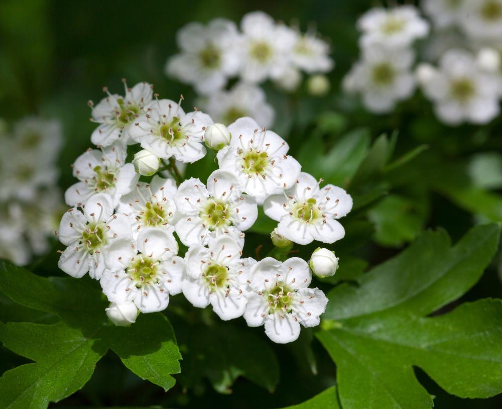 Blüte des Weißdorns