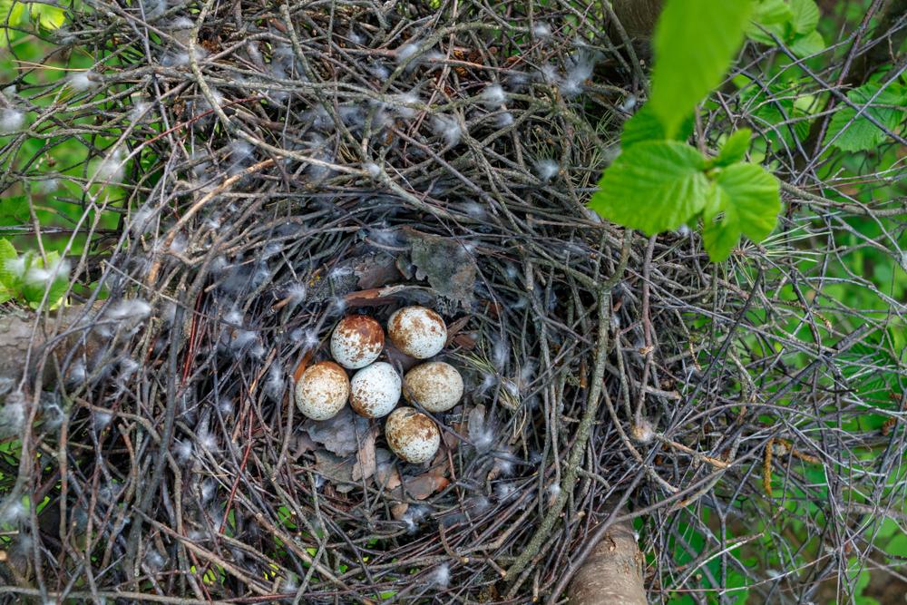Sperber Nest
