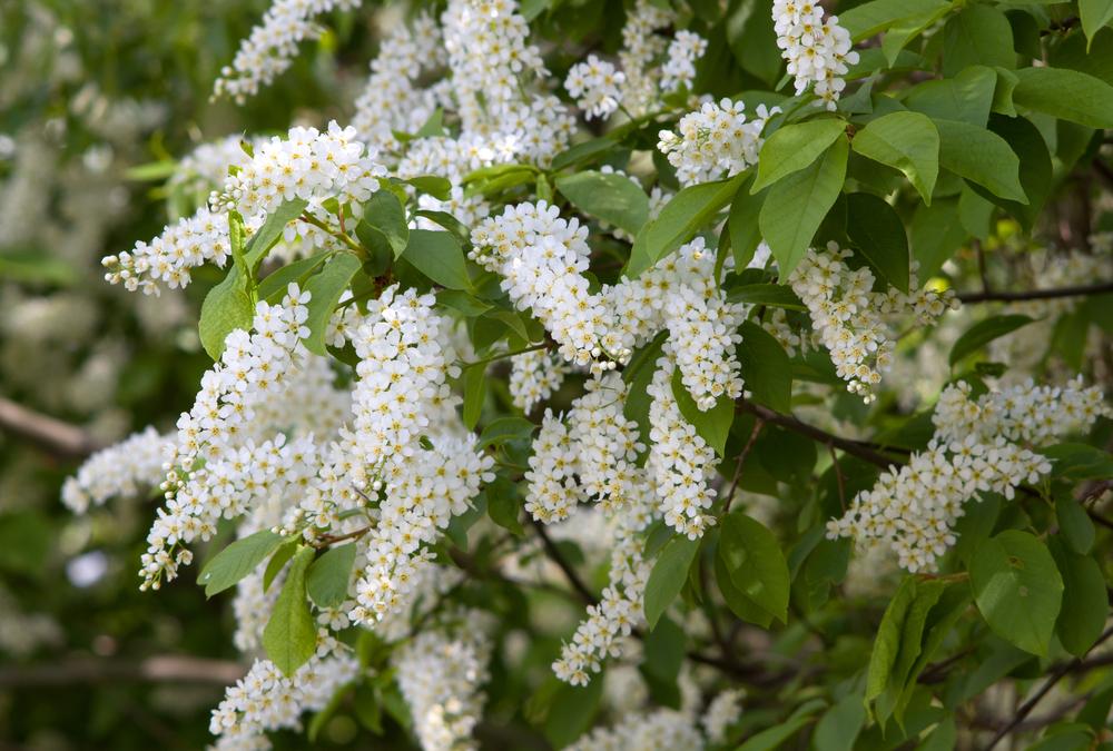 Blüte der Gemeinen Traubenkirsche