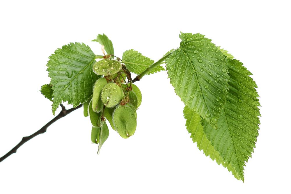 Ulmenblätter mit Früchten