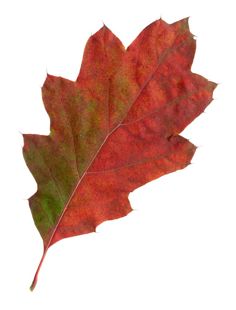Roteichenblatt