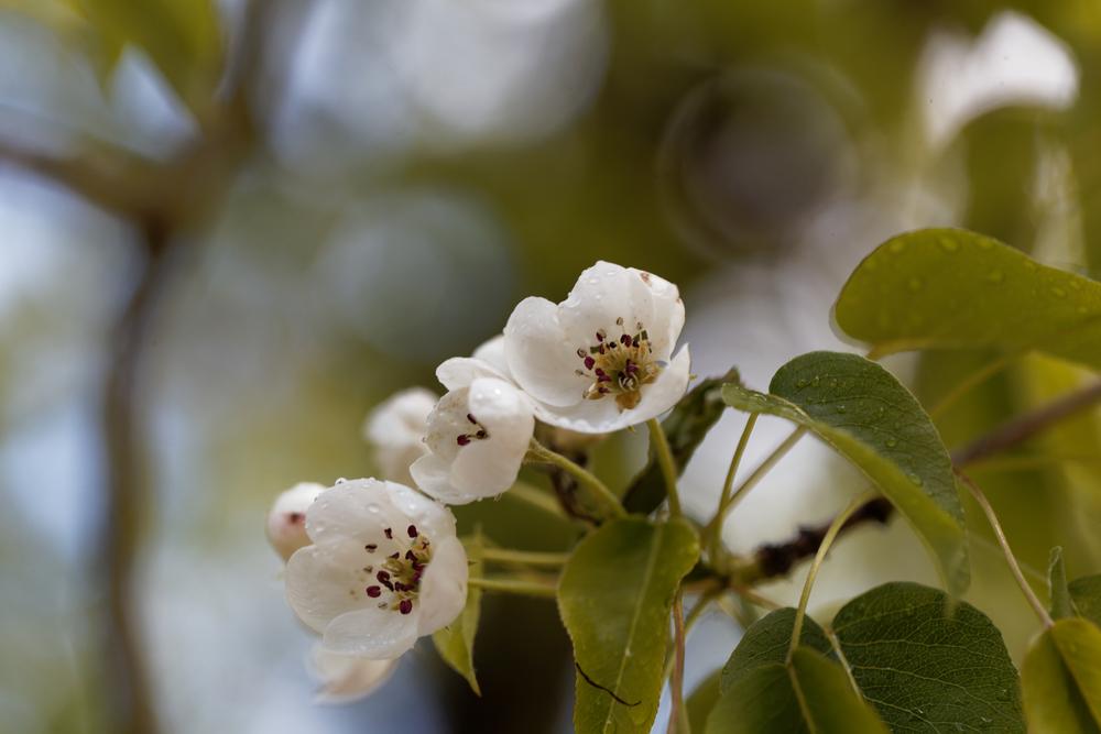 Wildbirnenblüte