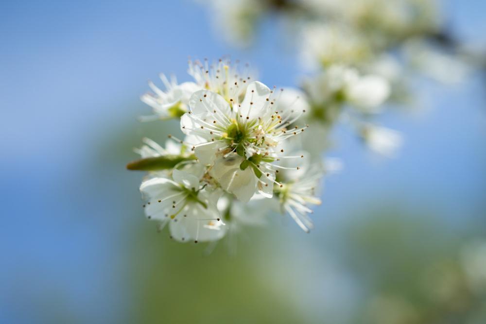 Blüte des Schwarzdorn