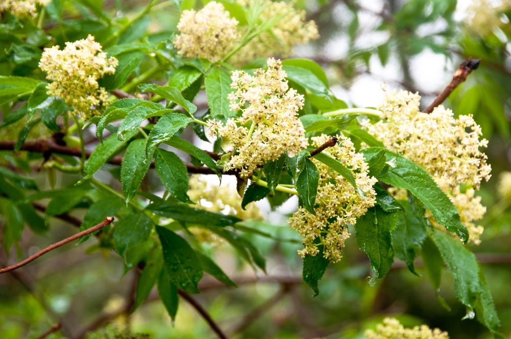 Blüte des Roten Holunders