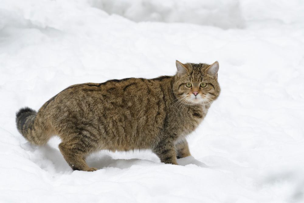 Wildkatze Winter