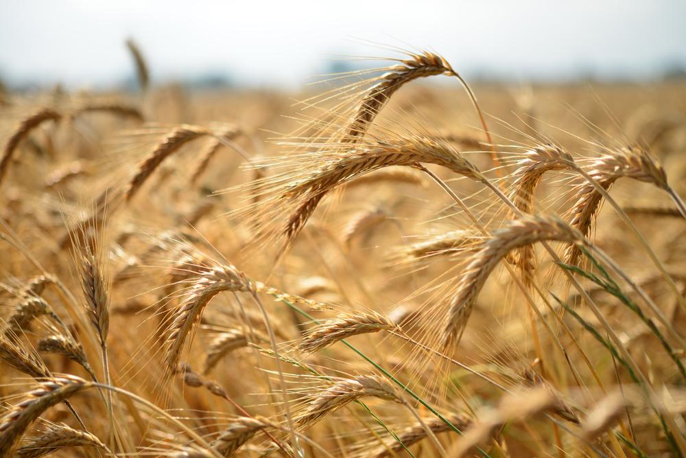 Getreide cover