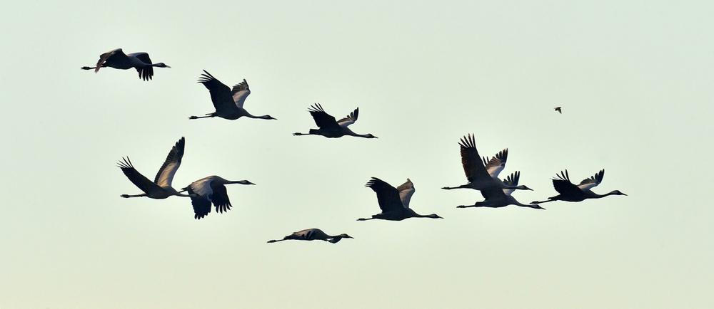 Kraniche Flugformation