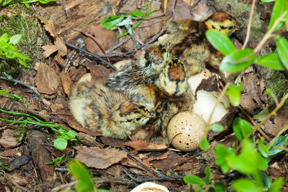 Birkwild Eier Gelege