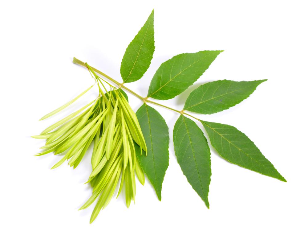 Blätter der Gemeinen Esche