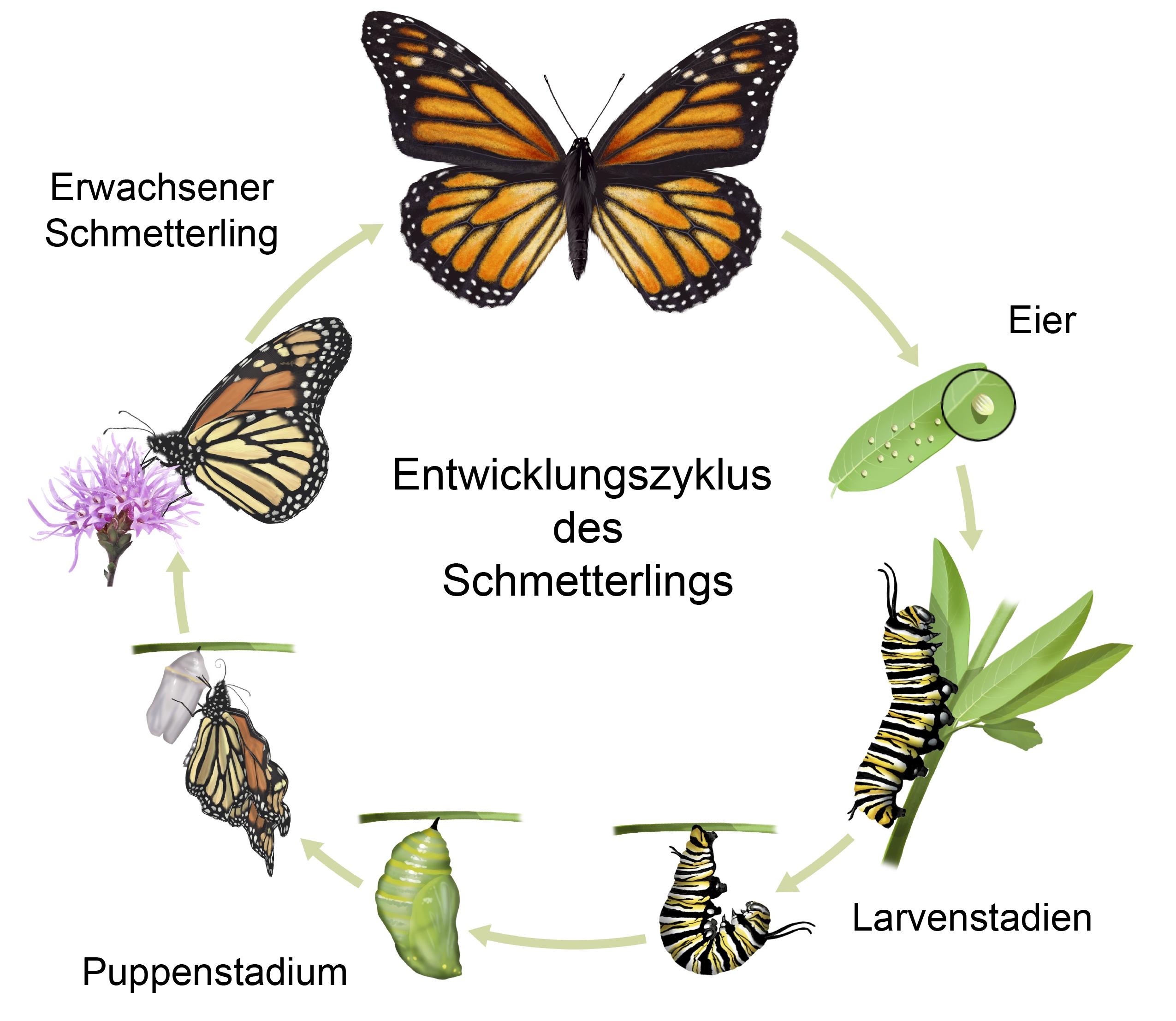 Entwicklung Insekten