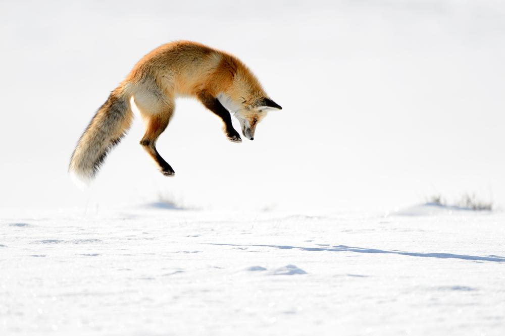 Fuchs Winter Jagd Ernährung