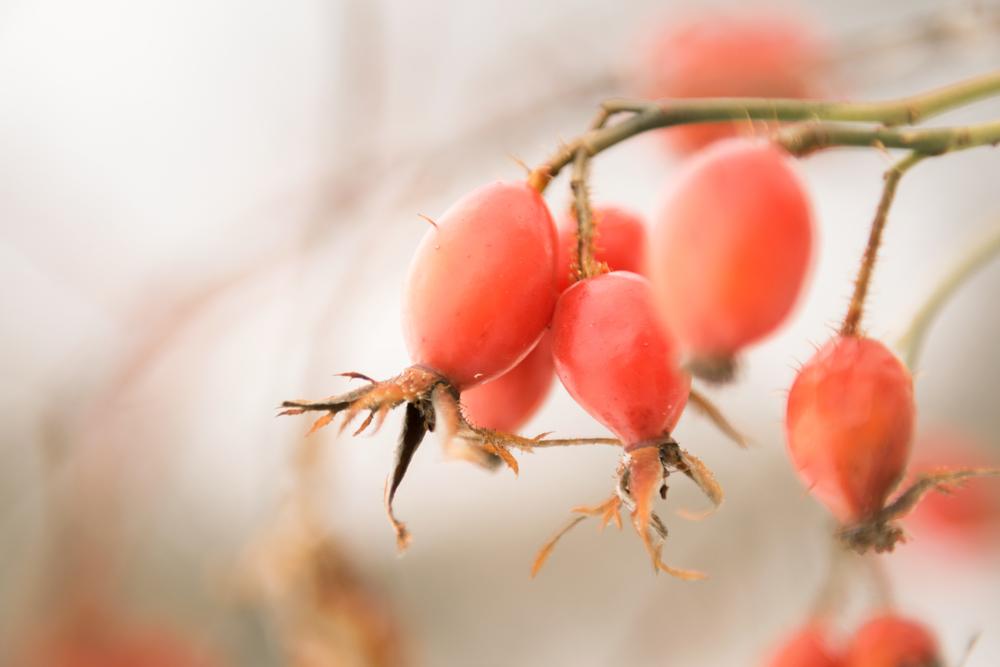 Früchte der Heckenrose