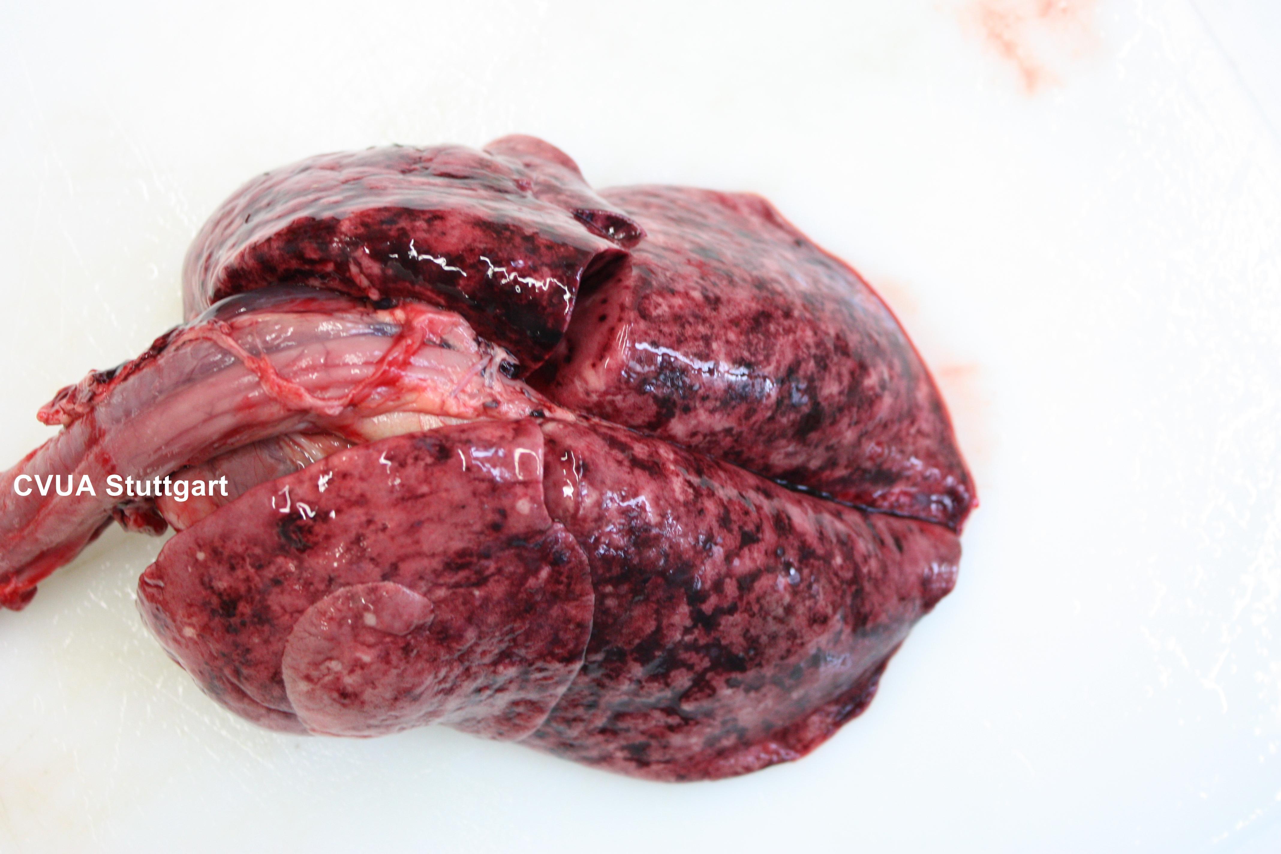 Lungenentzündung bei Staupe