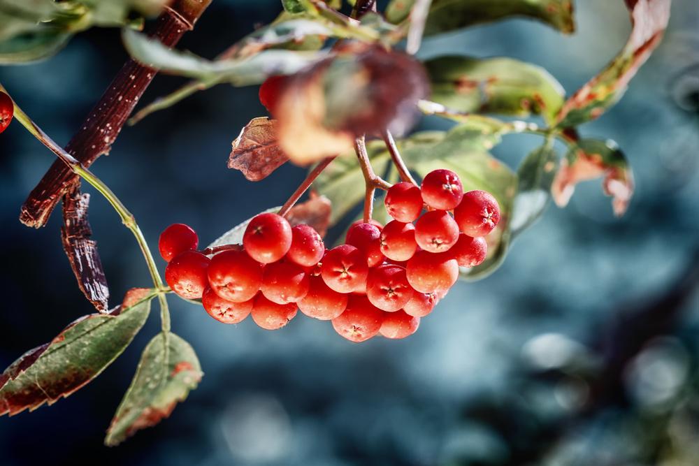 Früchte der Vogelbeere