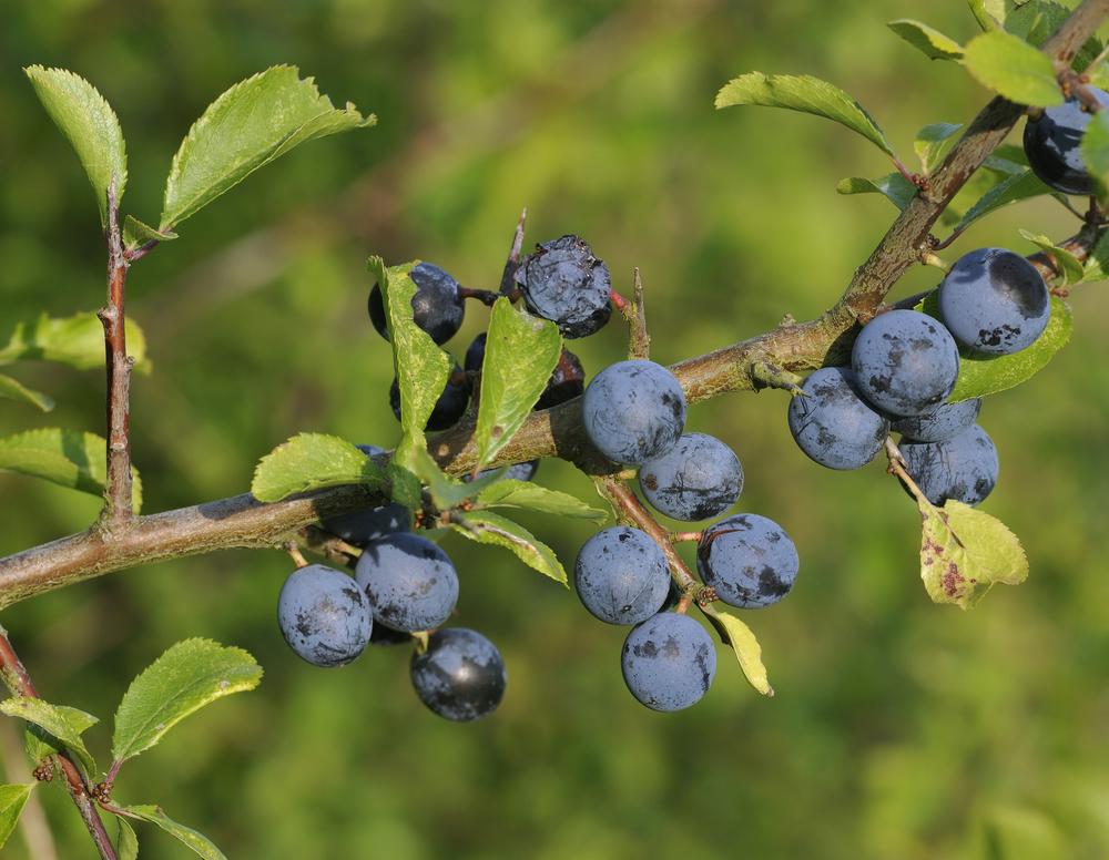Früchte des Schwarzdorn