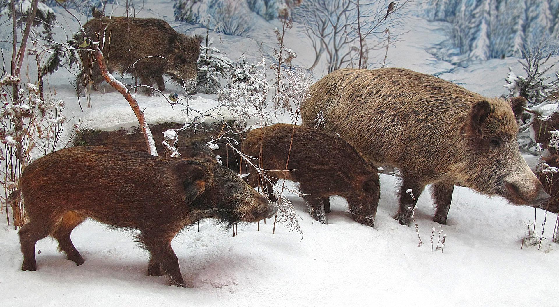 Rotte Frischlinge Winter