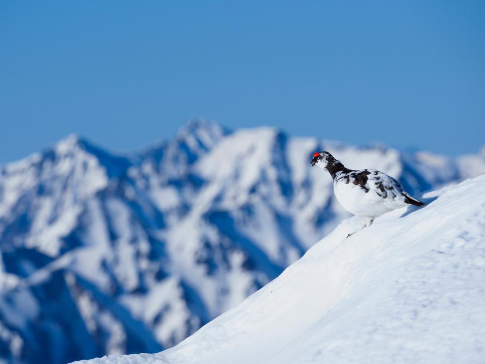 Alpenschneehuhn in seinem Biotop dem Hochgebirge