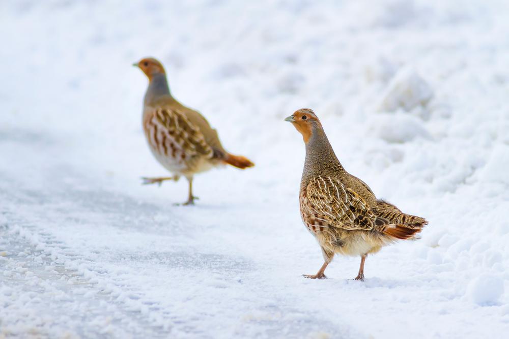 Hühnervögel cover