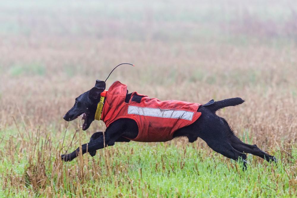 Terrier bei der Jagd