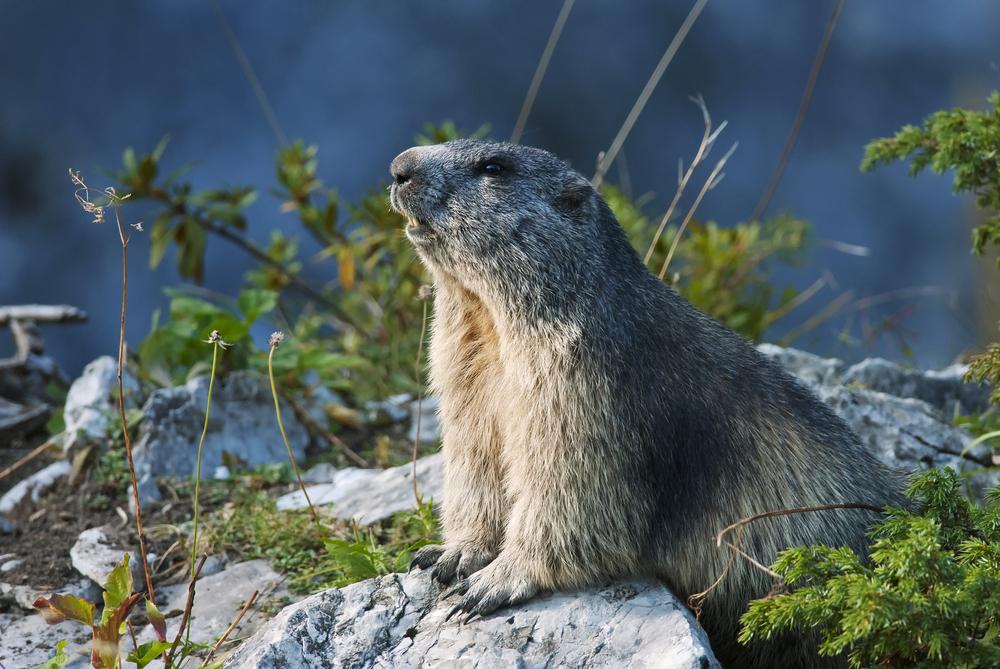 Murmeltier im alpinen Lebensraum