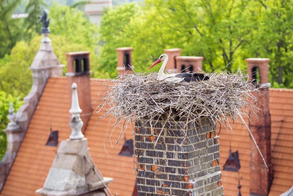 Weißstorch Nest