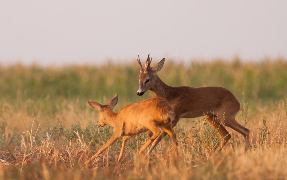 Rehwild Paarungszeit