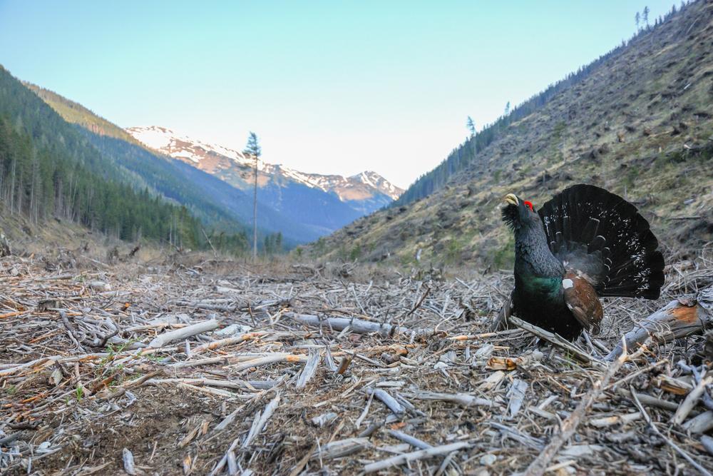 Auerhahn im forstwirtschaftlich gestörten Biotop