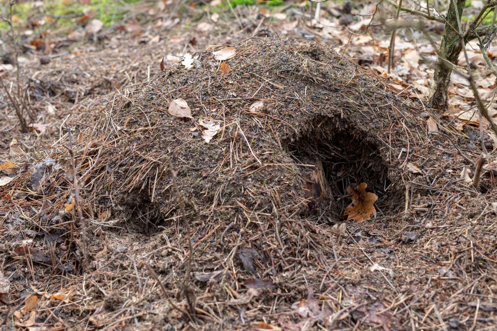Ameisenhaufen durch Schwarzwild geschädigt