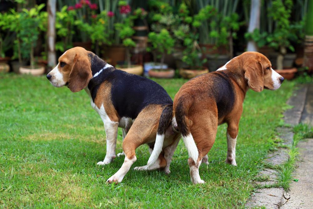 Zwei Beagle in der Hängephase