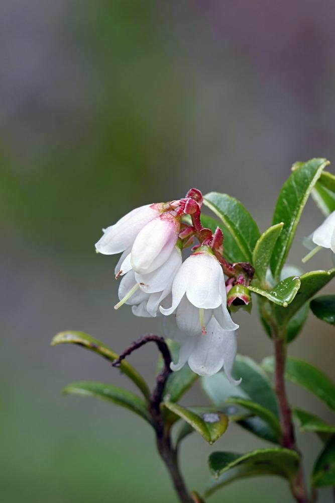 Blüte der Preiselbeere