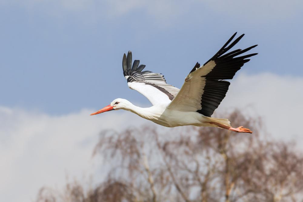 Weißstorch Flugbild