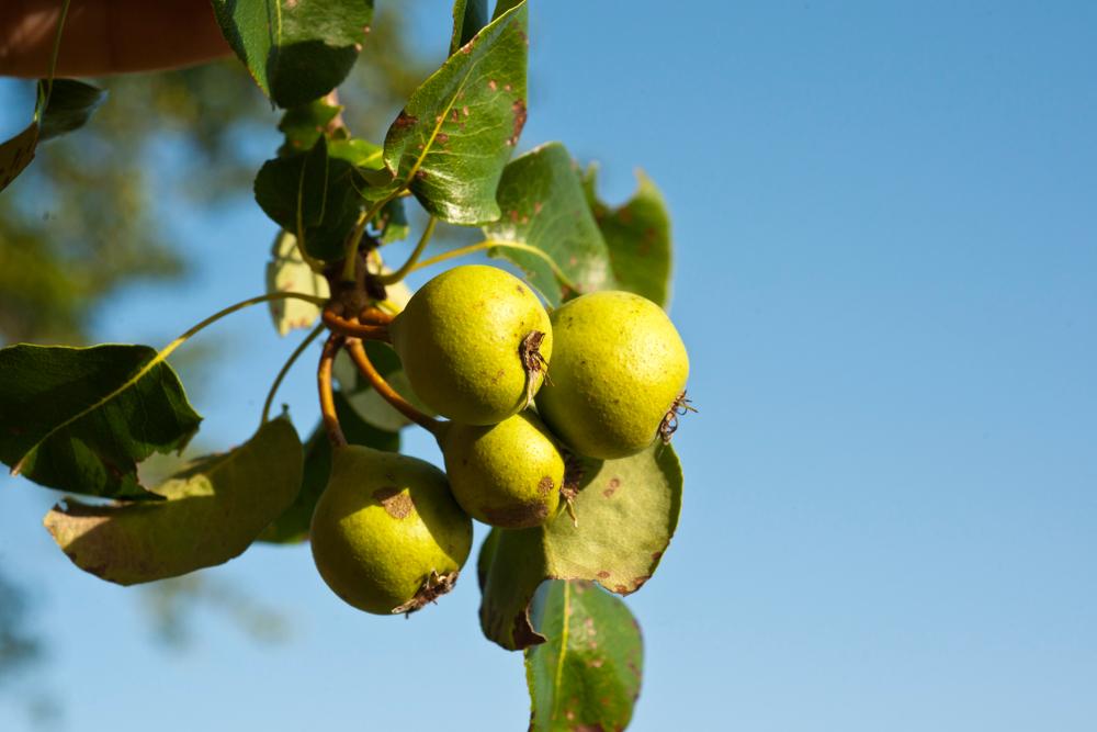 Wildbirnenfrucht