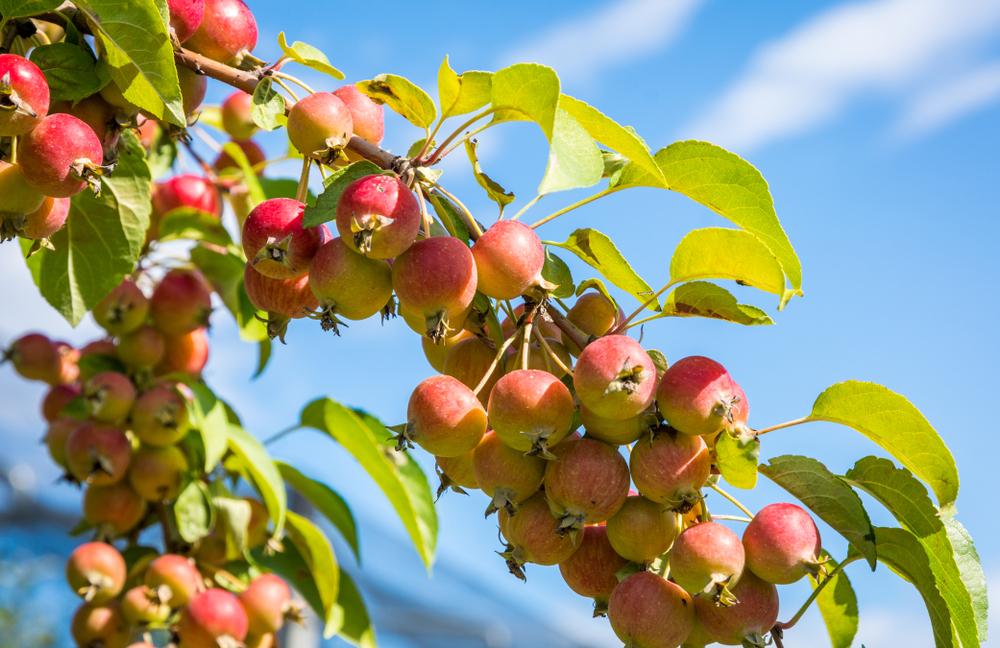 Wildapfelfrucht