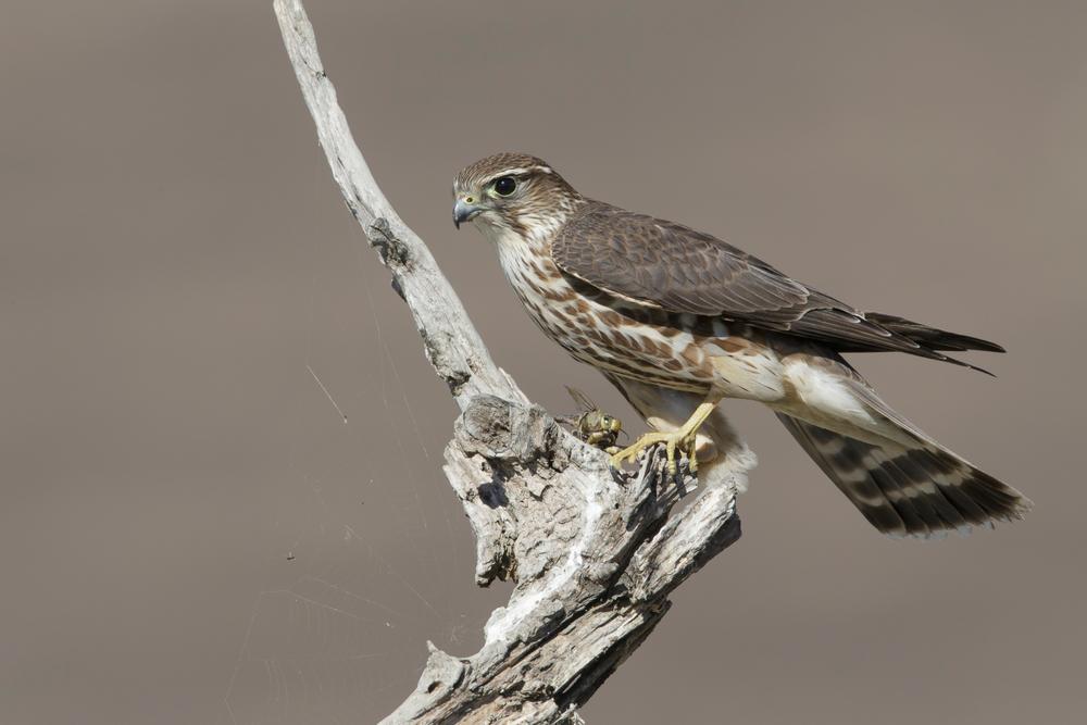 Merlin Weibchen