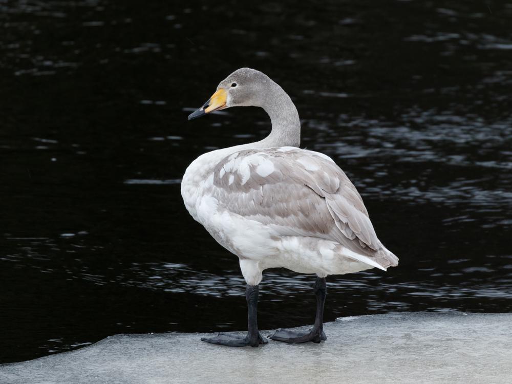 Juveniler Singschwan im 1. Winter.