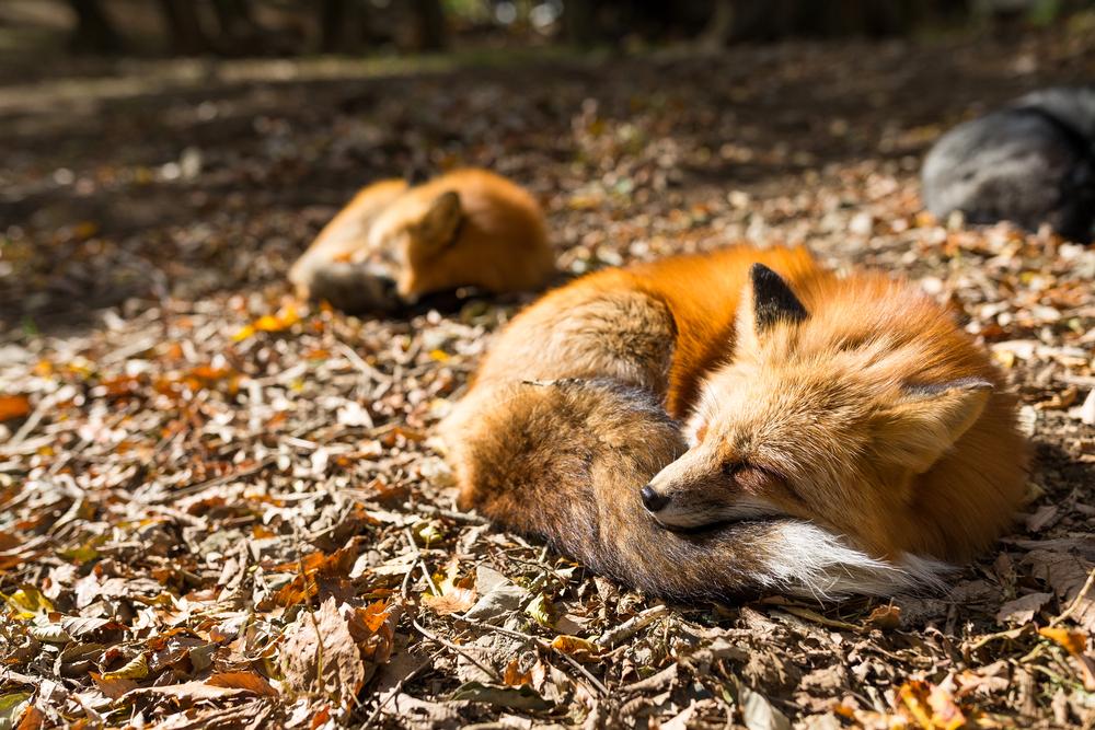Fuchs schlaf