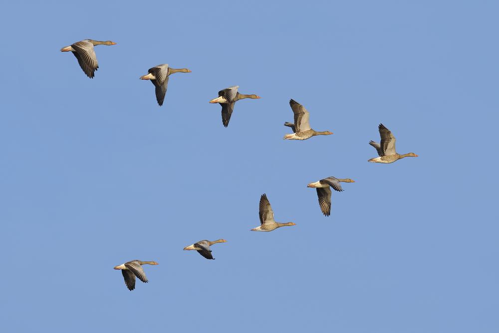 Gänse fliegen in V-Formation