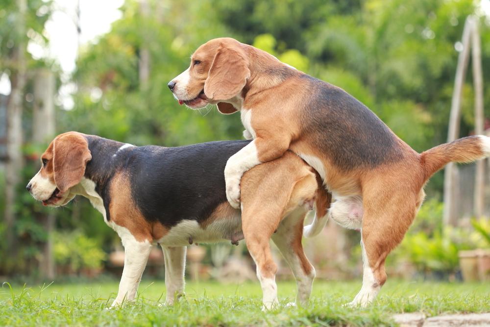 Zwei Beagle beim Decken