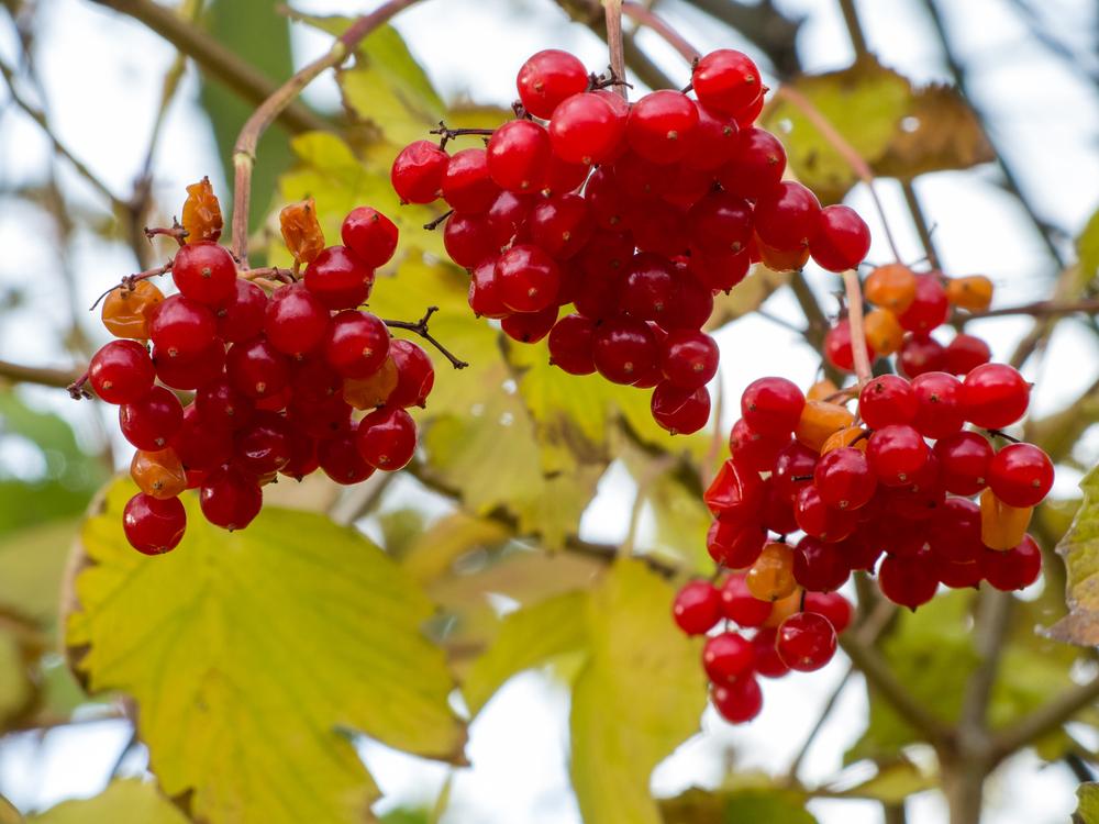 Früchte des Gemeinen Schneeballs