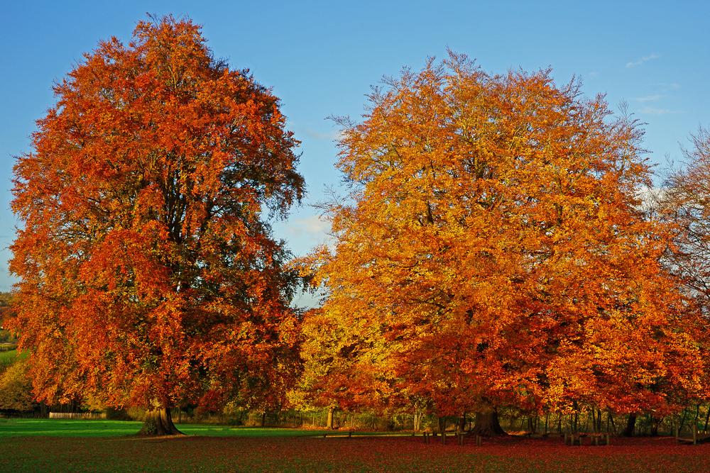 Rotbuchen im Herbst
