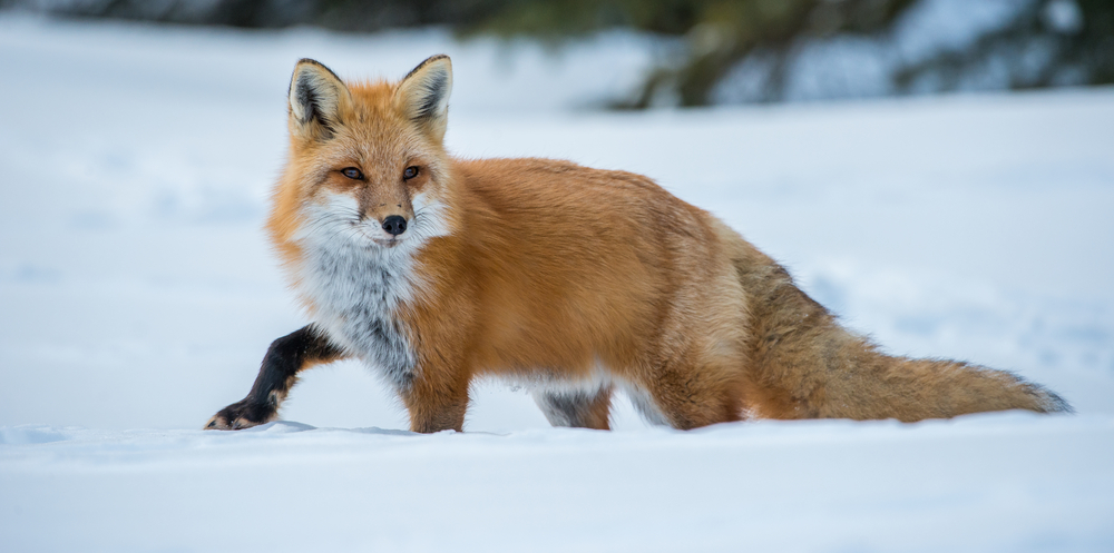 Fuchs Winter